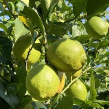 日本国産の柑橘美容成分「愛媛の早摘伊予レモン」